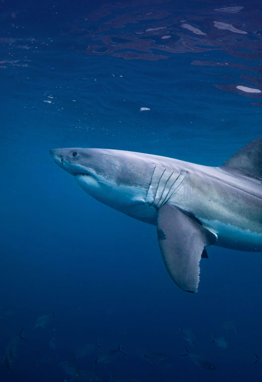 Shark Champions